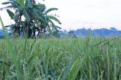 Ésta es una vista de los campos del arroz imagen de archivo