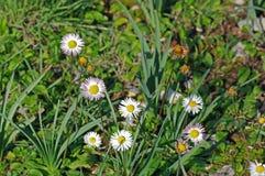 Éste es annua del Bellis, la margarita anual, Asteraceae de la familia Imagen de archivo
