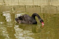 Éste es el cisne negro que se ve en el parque de China Foto de archivo libre de regalías