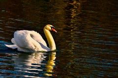 Éste es el lago real swan imágenes de archivo libres de regalías