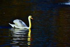 Éste es el lago real swan fotografía de archivo