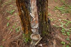 Éste es el proceso de golpear ligeramente la savia del pino que se acomoda con las cáscaras del coco fotografía de archivo