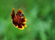 été de fleur d'abeille photographie stock libre de droits