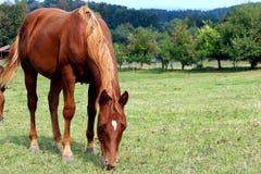 Été de l'ONU de cheval d'oseille image stock