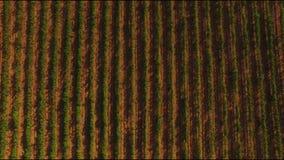 Été ensoleillé dans la vallée de raisin résolution 4K Terrasse de raisin à la lumière du soleil banque de vidéos