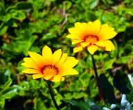 Été et fleurs jaunes fraîches, Espagne image stock