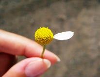 Été jaune de pétales de marguerite de fleur Photo stock