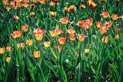 Été le champ des tulipes de floraison de couleurs rouges et jaunes dans les faisceaux plaçant le soleil photo libre de droits