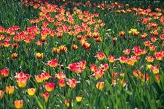 Été le champ des tulipes de floraison de couleurs rouges et jaunes dans les faisceaux plaçant le soleil photo stock