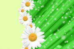 Été, marguerite, fond jaune de fleur Photos libres de droits