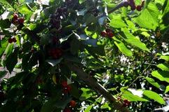 Été Merises rouges Du ` de série ` caché de cerises verger Image libre de droits