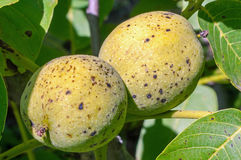 Été - noix sur un arbre Photo stock