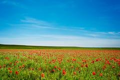 Été Poppy Field Image libre de droits