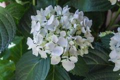 Été sans fin de rougissement Mophead de jeune mariée hydrangea Buissons d'hortensia image stock
