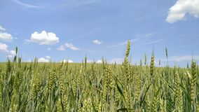 Été Sun brillant au-dessus du paysage agricole du champ de blé banque de vidéos