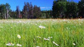 Établissant le tir de belles fleurs de fleur de marguerite, vulgare de leucanthemum, dans un pré tranquille de forêt banque de vidéos