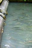 Établissement d'incubation de poissons Photographie stock