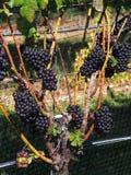 Établissements vinicoles et vignobles du Long Island Images stock