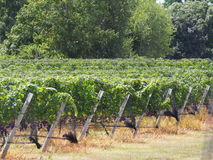 Établissements vinicoles et vignobles du Long Island Image libre de droits