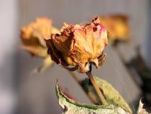 Était une rose? Photographie stock libre de droits