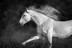 Étalon andalou blanc photos libres de droits