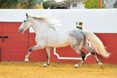 Étalon andalou blanc fonctionnant dans l'arène de taureau photos libres de droits
