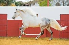 Étalon andalou blanc fonctionnant dans l'arène de taureau photographie stock libre de droits