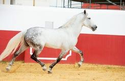 Étalon andalou blanc fonctionnant dans l'arène de taureau image libre de droits