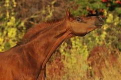 étalon Arabe de rouge de verticale de cheval photographie stock libre de droits