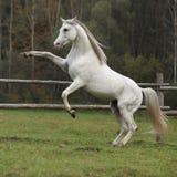 Étalon Arabe magnifique caracolant Image stock