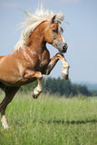 Étalon caracolant gentil de Haflinger Photo stock