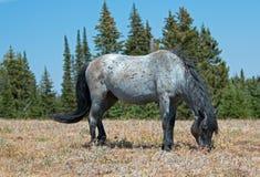 Étalon coloré rouan bleu de bande de cheval sauvage alimentant dans la chaîne de cheval sauvage de montagnes de Pryor dans l'†« Image libre de droits