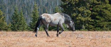 Étalon coloré rouan bleu de bande de cheval sauvage dans la chaîne de cheval sauvage de montagnes de Pryor au Montana Image libre de droits