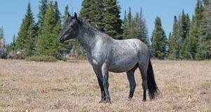 Étalon coloré rouan bleu de bande de cheval sauvage dans la chaîne de cheval sauvage de montagnes de Pryor dans l'†«Wyoming du Photos libres de droits