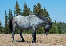 Étalon coloré rouan bleu de bande de cheval sauvage dans le ` serpentant la posture de ` dans la chaîne de cheval sauvage de mont Photos libres de droits