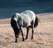 Étalon coloré rouan bleu ensoleillé de bande de cheval sauvage sur Sykes Ridge au-dessus de cuvette de tasse de thé dans les mont Photos stock