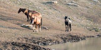 Étalon de baie avec le troupeau de chevaux sauvages au point d'eau dans la chaîne de cheval sauvage de montagnes de Pryor au Mont Image stock