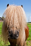 Étalon de poney Photos libres de droits