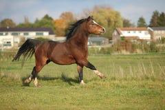 Étalon de poney de montagne de Brown gallois avec galoper de cheveux noirs photographie stock