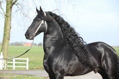 Étalon frison magnifique avec de longs cheveux Images libres de droits