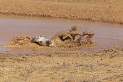 Étalon gris prenant un bain de boue Photos libres de droits