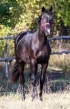 Étalon noir Image stock