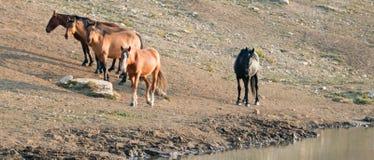Étalon noir avec le troupeau de chevaux sauvages au point d'eau dans la chaîne de cheval sauvage de montagnes de Pryor au Montana Images stock