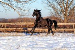 Étalon noir caracolant Photos stock