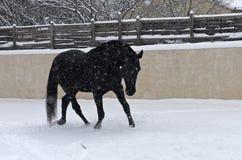 Étalon noir dans la neige photo libre de droits