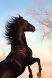 Étalon noir de cheval s'élevant  Photographie stock libre de droits