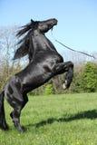 Étalon noir magnifique caracolant Image stock