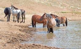 Étalon rouan rouge dans le point d'eau avec le troupeau de chevaux sauvages dans la chaîne de cheval sauvage de montagnes de Pryo Images libres de droits
