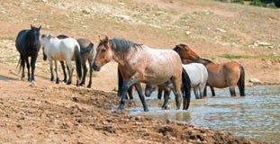 Étalon rouan rouge dans le point d'eau avec le troupeau de chevaux sauvages dans la chaîne de cheval sauvage de montagnes de Pryo Photo stock