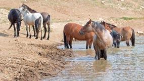 Étalon rouan rouge dans le point d'eau avec le troupeau de chevaux sauvages dans la chaîne de cheval sauvage de montagnes de Pryo Photographie stock libre de droits